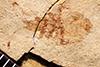 http://mczbase.mcz.harvard.edu/specimen_images/entomology/paleo/large/PALE-515_Heeria_lapidosa_type.jpg