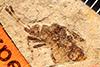 http://mczbase.mcz.harvard.edu/specimen_images/entomology/paleo/large/PALE-517_Heeria_lapidosa_type.jpg