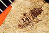http://mczbase.mcz.harvard.edu/specimen_images/entomology/paleo/large/PALE-532_Corizus_celatus_type.jpg