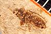 http://mczbase.mcz.harvard.edu/specimen_images/entomology/paleo/large/PALE-534_Corizus_celatus_type.jpg