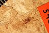 http://mczbase.mcz.harvard.edu/specimen_images/entomology/paleo/large/PALE-540_Protenor_imbecillis_holotype.jpg