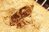 http://mczbase.mcz.harvard.edu/specimen_images/entomology/paleo/large/PALE-574_Rhepocoris_minima_holotype.jpg