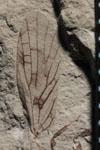 http://mczbase.mcz.harvard.edu/specimen_images/entomology/paleo/large/PALE-593_Lemmatophora_typa_FW-dry-PartA.jpg