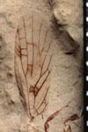 http://mczbase.mcz.harvard.edu/specimen_images/entomology/paleo/large/PALE-593_Lemmatophora_typa_FW-etho-PartA.jpg