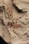 http://mczbase.mcz.harvard.edu/specimen_images/entomology/paleo/large/PALE-593_Lemmatophora_typa_etho-PartA.jpg