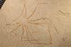 http://mczbase.mcz.harvard.edu/specimen_images/entomology/paleo/large/PALE-5982_Achelata_det_larva.jpg