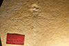 http://mczbase.mcz.harvard.edu/specimen_images/entomology/paleo/large/PALE-6180_Aeschnopsis_perkinsi_2_(cp_6181).jpg