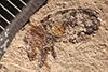 http://mczbase.mcz.harvard.edu/specimen_images/entomology/paleo/large/PALE-61_Hormorus_saxorum_type.jpg
