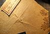 http://mczbase.mcz.harvard.edu/specimen_images/entomology/paleo/large/PALE-6252_Cymatophlebia_longialata_(cp_6253).jpg