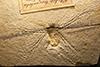 http://mczbase.mcz.harvard.edu/specimen_images/entomology/paleo/large/PALE-6256_Cymatophlebia_longialata_(cp_6257).jpg