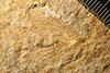 http://mczbase.mcz.harvard.edu/specimen_images/entomology/paleo/large/PALE-6277_Hexagenites_weyenberghi_type.jpg