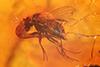 http://mczbase.mcz.harvard.edu/specimen_images/entomology/paleo/large/PALE-6356_Dolichopodidae.jpg