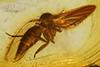 http://mczbase.mcz.harvard.edu/specimen_images/entomology/paleo/large/PALE-6357_Mycetophilidae.jpg
