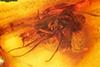 http://mczbase.mcz.harvard.edu/specimen_images/entomology/paleo/large/PALE-6361_Dolichopodidae.jpg