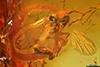 http://mczbase.mcz.harvard.edu/specimen_images/entomology/paleo/large/PALE-6374_Sciaridae.jpg