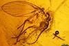 http://mczbase.mcz.harvard.edu/specimen_images/entomology/paleo/large/PALE-6383_Psychodidae.jpg