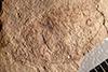 http://mczbase.mcz.harvard.edu/specimen_images/entomology/paleo/large/PALE-639_Teleoschistus_rigoratus_holotype_1.jpg