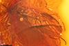 http://mczbase.mcz.harvard.edu/specimen_images/entomology/paleo/large/PALE-6403_Anisopodidae.jpg