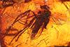 http://mczbase.mcz.harvard.edu/specimen_images/entomology/paleo/large/PALE-6405_Anisopodidae.jpg
