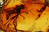 http://mczbase.mcz.harvard.edu/specimen_images/entomology/paleo/large/PALE-6409_Axymyiidae_qm.jpg