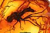 http://mczbase.mcz.harvard.edu/specimen_images/entomology/paleo/large/PALE-6409_syn1_Axymyiidae_qm.jpg