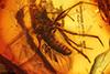 http://mczbase.mcz.harvard.edu/specimen_images/entomology/paleo/large/PALE-6420_Anisopodidae.jpg