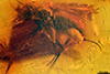 http://mczbase.mcz.harvard.edu/specimen_images/entomology/paleo/large/PALE-6448_Dolichopodidae.jpg