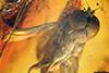 http://mczbase.mcz.harvard.edu/specimen_images/entomology/paleo/large/PALE-6457_Dolichopodidae_2.jpg