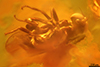 http://mczbase.mcz.harvard.edu/specimen_images/entomology/paleo/large/PALE-6458_Brachycera.jpg
