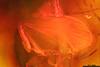 http://mczbase.mcz.harvard.edu/specimen_images/entomology/paleo/large/PALE-6463_Dolichopodidae_1.jpg