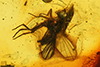 http://mczbase.mcz.harvard.edu/specimen_images/entomology/paleo/large/PALE-6500_Electrochyliza_succini.jpg