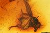 http://mczbase.mcz.harvard.edu/specimen_images/entomology/paleo/large/PALE-6501_Morgea_mcalpinei.jpg