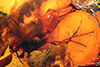 http://mczbase.mcz.harvard.edu/specimen_images/entomology/paleo/large/PALE-6532_Dolichopodidae.jpg