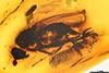 http://mczbase.mcz.harvard.edu/specimen_images/entomology/paleo/large/PALE-6547_Prodryomyza_electrica.jpg