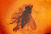 http://mczbase.mcz.harvard.edu/specimen_images/entomology/paleo/large/PALE-6550_Dolichopodidae.jpg
