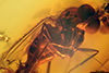 http://mczbase.mcz.harvard.edu/specimen_images/entomology/paleo/large/PALE-6554_syn3_Dolichopodidae.jpg