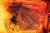 http://mczbase.mcz.harvard.edu/specimen_images/entomology/paleo/large/PALE-6556_Dolichopodidae.jpg