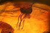 http://mczbase.mcz.harvard.edu/specimen_images/entomology/paleo/large/PALE-6571_Prioriphora_setifemoralis_holotype.jpg