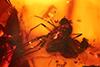 http://mczbase.mcz.harvard.edu/specimen_images/entomology/paleo/large/PALE-6575_Dolichopodidae.jpg