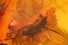 http://mczbase.mcz.harvard.edu/specimen_images/entomology/paleo/large/PALE-6576_Dolichopodidae.jpg