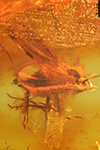 http://mczbase.mcz.harvard.edu/specimen_images/entomology/paleo/large/PALE-6578_Dolichopodidae.jpg