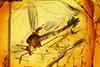 http://mczbase.mcz.harvard.edu/specimen_images/entomology/paleo/large/PALE-6605_Chironomidae.jpg
