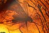 http://mczbase.mcz.harvard.edu/specimen_images/entomology/paleo/large/PALE-6609_Chironomidae.jpg
