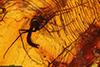 http://mczbase.mcz.harvard.edu/specimen_images/entomology/paleo/large/PALE-6612_Chironomidae.jpg