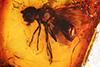http://mczbase.mcz.harvard.edu/specimen_images/entomology/paleo/large/PALE-6637_Syrphidae.jpg