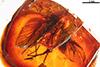 http://mczbase.mcz.harvard.edu/specimen_images/entomology/paleo/large/PALE-6680_Rhagionidae.jpg