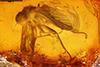 http://mczbase.mcz.harvard.edu/specimen_images/entomology/paleo/large/PALE-6682_Rhagionidae.jpg