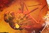 http://mczbase.mcz.harvard.edu/specimen_images/entomology/paleo/large/PALE-6687_Rhagionidae.jpg