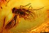 http://mczbase.mcz.harvard.edu/specimen_images/entomology/paleo/large/PALE-6693_Rhagionidae.jpg