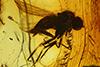 http://mczbase.mcz.harvard.edu/specimen_images/entomology/paleo/large/PALE-6700_syn1_Dolichopodidae.jpg